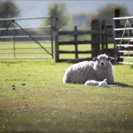 Hướng dẫn đầu tư nuôi Cừu ở nông thôn (P1)