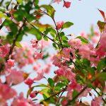 Làm giàu từ nông nghiệp: Cây Hoa Hải Đường