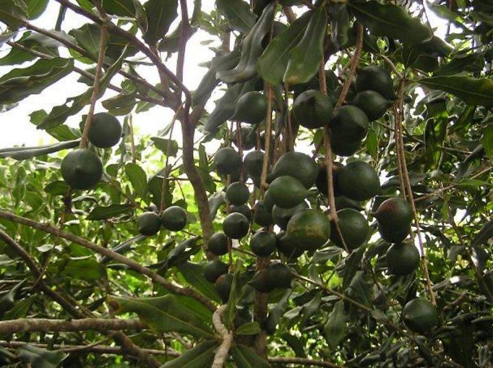 Đất Tây Nguyên nên trồng cây gì làm giàu