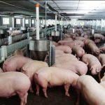 Bài toán nhà nông: Làm sao để chăn nuôi heo hiệu quả từ một số vốn ít ỏi?