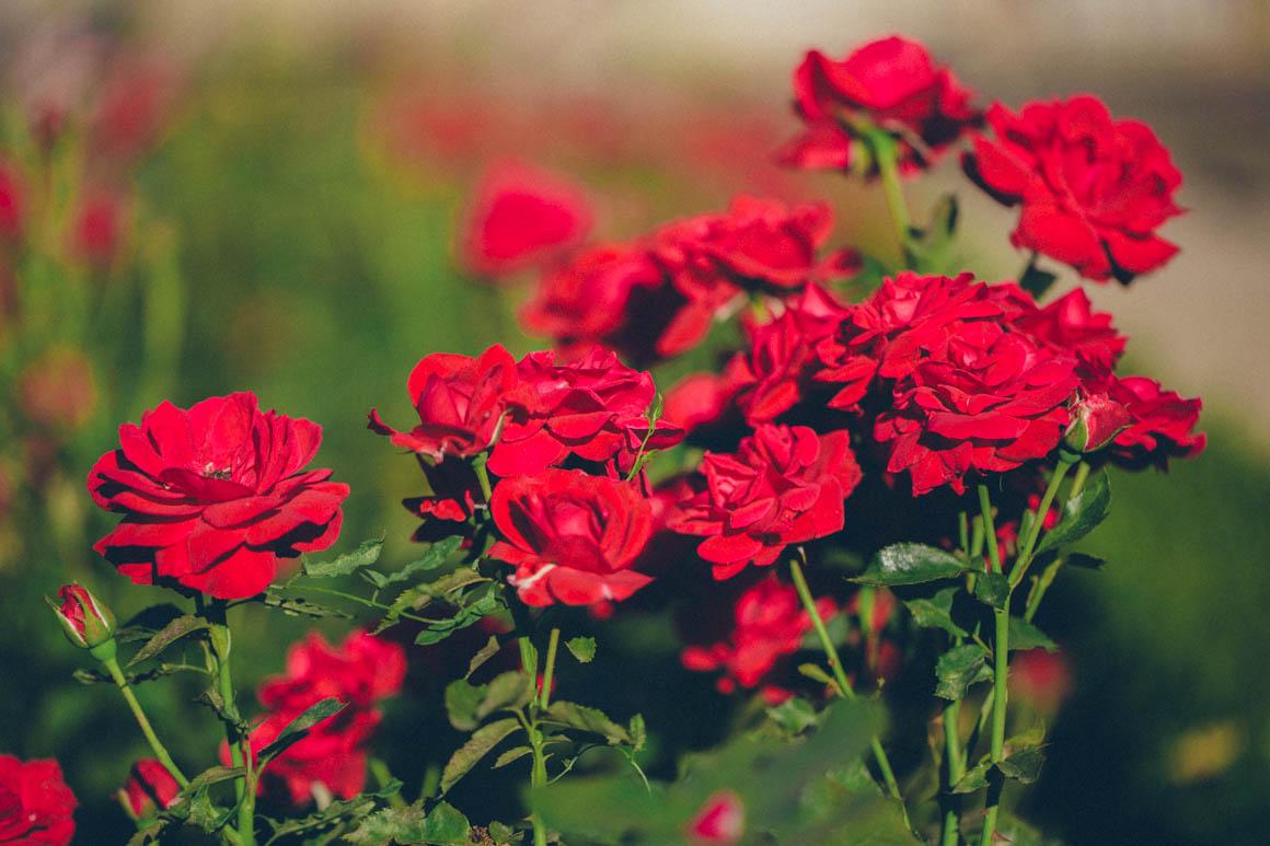 Có nên đầu tư trồng Hoa Hồng-Chi phí đầu tư trồng hoa Hồng