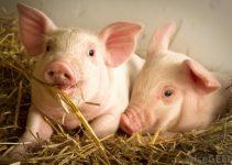 Mô hình chăn nuôi Heo sạch hộ gia đình