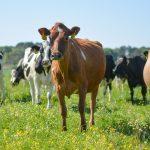 Khởi nghiệp làm giàu từ chăn nuôi bò – Giống bò thịt tốt nhất hiện nay