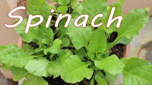 Mách nhỏ những bí quyết trồng Cải bó xôi trong chậu xanh đẹp (thú vui thành công)