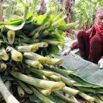 Lá chuối thay thế nilong siêu thị xanh hơn nông dân thoát nghèo