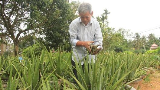 Nông dân làm giàu từ cây Nha Đam, thu trăm triệu mỗi năm