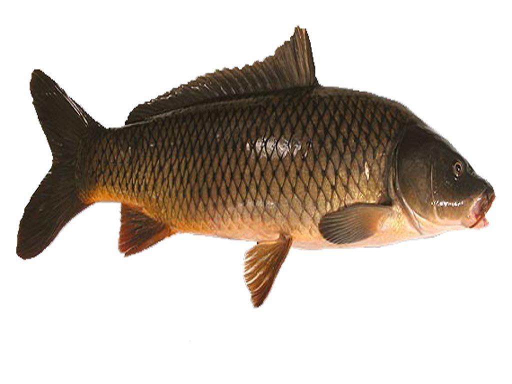 Cá chép ăn thức ăn gì trong tự nhiên?