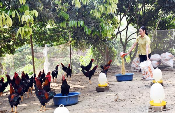 Hiệu quả kinh tế cao từ mô hình nuôi gà thịt thả vườn an toàn sinh học
