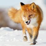 Con Cáo tượng trưng cho điều gì-ý nghĩa về con cáo