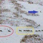 Cách di chuyển của bầy sói-Sói đầu đàn đi cuối hay đầu