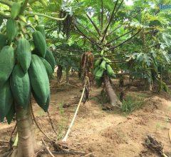 Cắt rễ chính của cây Đu đủ để cây không lớn được, kế hoạch làm ăn thu lãi 100 triệu mỗi vụ