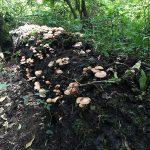 Mỗi ngày kiếm 2 triệu từ loại Nấm hái bên vệ đường ( làm giàu từ đặc sản)
