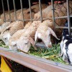 Mỗi tháng kiếm 50 triệu từ nuôi Cừu và Dê ở giữa thành phố (anh ấy làm giàu từ nông nghiệp thời hiện đại)