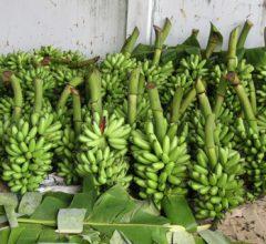 Làm giàu từ nông nghiệp: Mô hình trồng chuối thu 600 triệu 1 năm.
