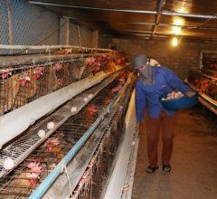 Làm giàu từ nông nghiệp: Mô hình nuôi gà kiểu mới (thu riêng tiền lãi 1 tỷ/ năm)