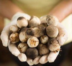 Làm giàu từ nông nghiệp: Mô hình với Nấm rơm thu 30 triệu trong 30 ngày