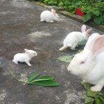 Mô hình nuôi thỏ bền vững, thu lãi 30 triệu 1 tháng