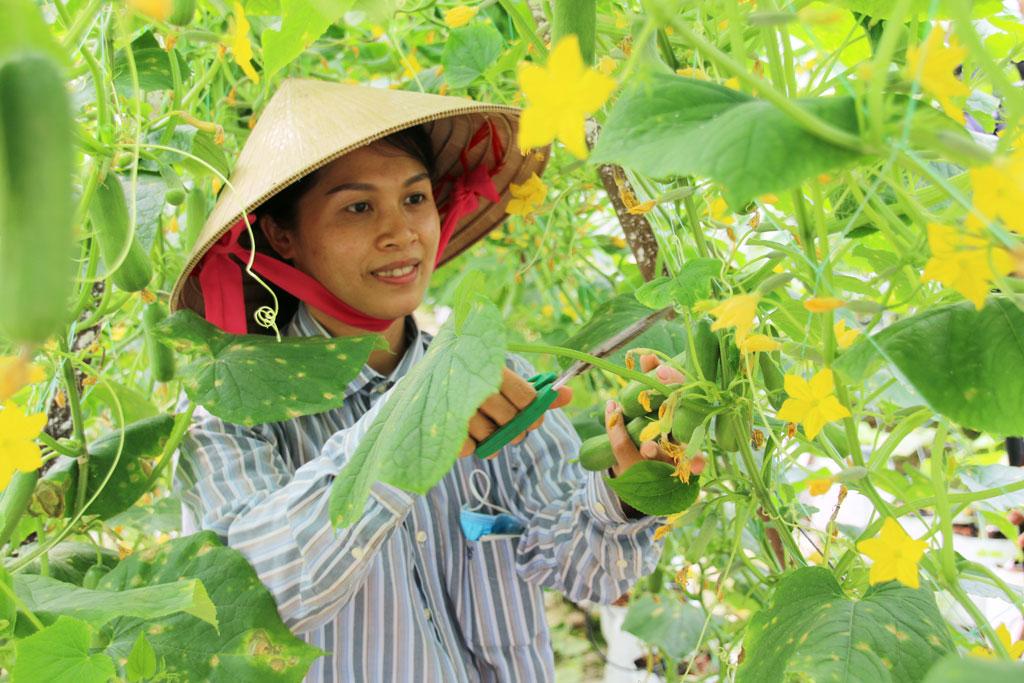 Mô hình trồng rau sạch, mỗi tháng thu 150 triệu ở Long An