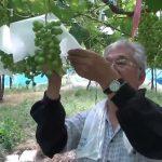 Ý tưởng làm giàu: Cách trồng nho sữa Nhật Bản giá 2 triệu/kg