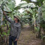 Ý tưởng trồng Chuối tiêu, thu 10 tỷ 1 năm (Hưng Yên)