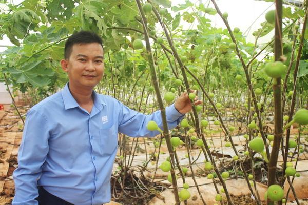 Mô hình kinh doanh sản xuất Sung có nguồn gốc Mỹ thu hoạch khoảng 200 kg, bán 400.000 đồng một kg