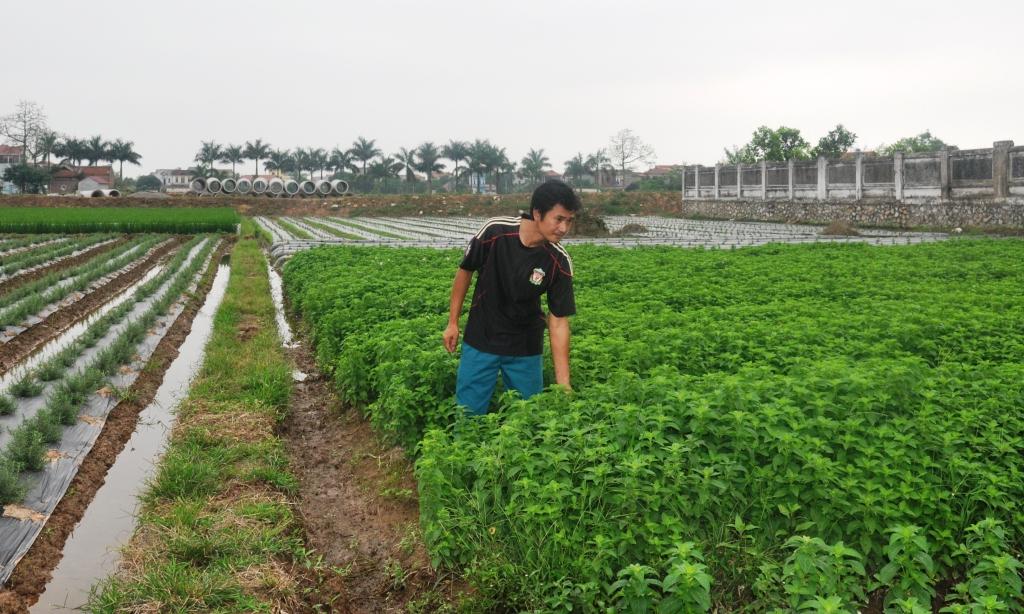 Mô hình làm giàu với cây bạc hà (ở Bắc Ninh), cây dễ trồng, ít sâu bệnh