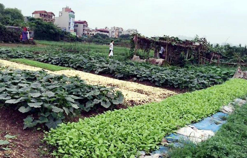 Cách kiếm tiền bằng cho thuê đất trồng rau ở Ngoại thành