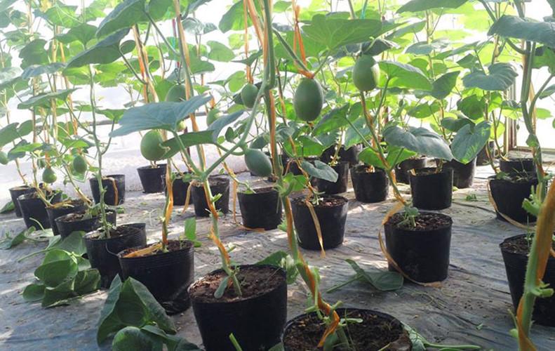 Kế hoạch trồng thu 3 tạ Hoa quả trong 40m2 ở trên Sân thượng