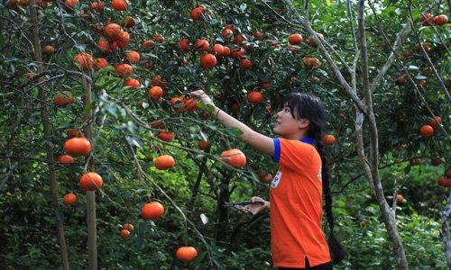 Làm giàu ở nông thôn: mô hình trồng Cam sạch, thu lãi 300 triệu