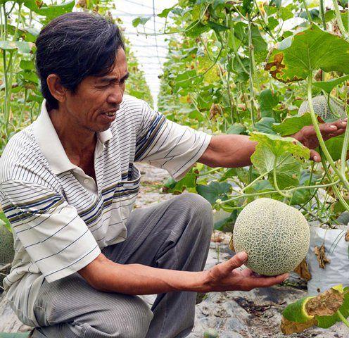 Ý tưởng kinh doanh trồng dưa lưới công nghệ cao