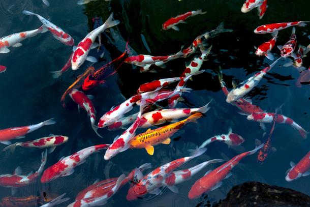 Ý tưởng kinh doanh cá Koi Nhật Bản thành mô hình kiếm lời hiệu quả