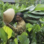 Ý tưởng trồng lá Dong lớn nhất tỉnh Hà Tĩnh hốt bạc kiếm tiền