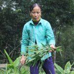 Ý tưởng làm giàu ở nông thôn: Trồng gừng có gần chục triệu mỗi tháng