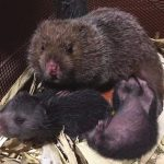 Ý tưởng mô hình làm giàu từ nuôi chuột
