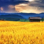 Stt câu nói hay về cánh đồng lúa ( Caption status về lúa vàng)