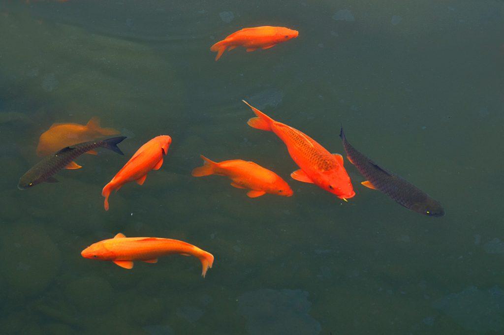 Giải mã Giấc mơ thấy đàn cá đang bơi trong nước (mơ thấy cá và nước)