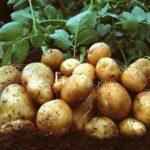 Lá của cây khoai Tây có ăn, nấu hoặc xào được không